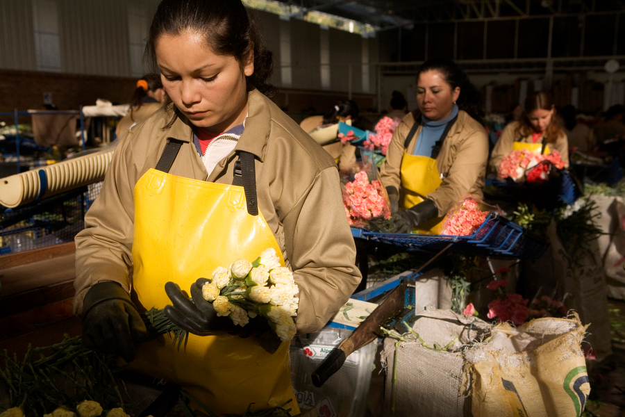 Workers prepare carnations for shipment to the US at a farm outside of Bogota, Colombia.